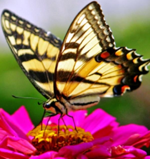 Butterflycrop2