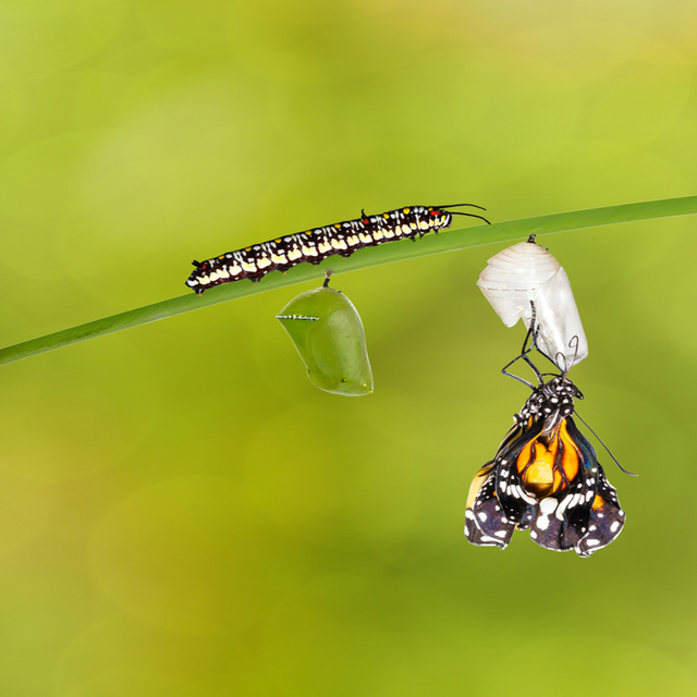 Editedbigstock-transformation-of-common-tiger-136051931