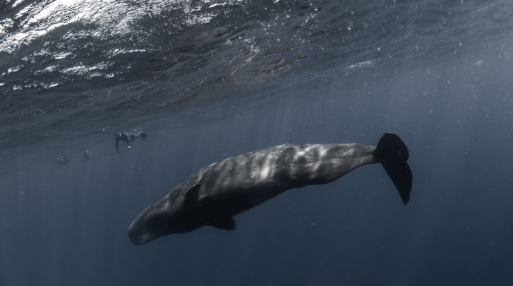 Ac_dominica_w_whale