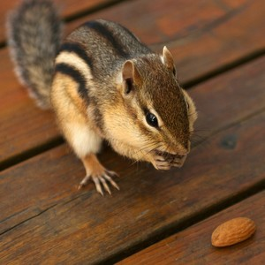 Squirrel_and_almonds
